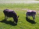 donkeysfeeding