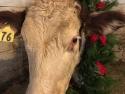hathway-farm-christmas-cow